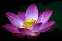 Lotus Flower :Purity, Rebirth and Divinity